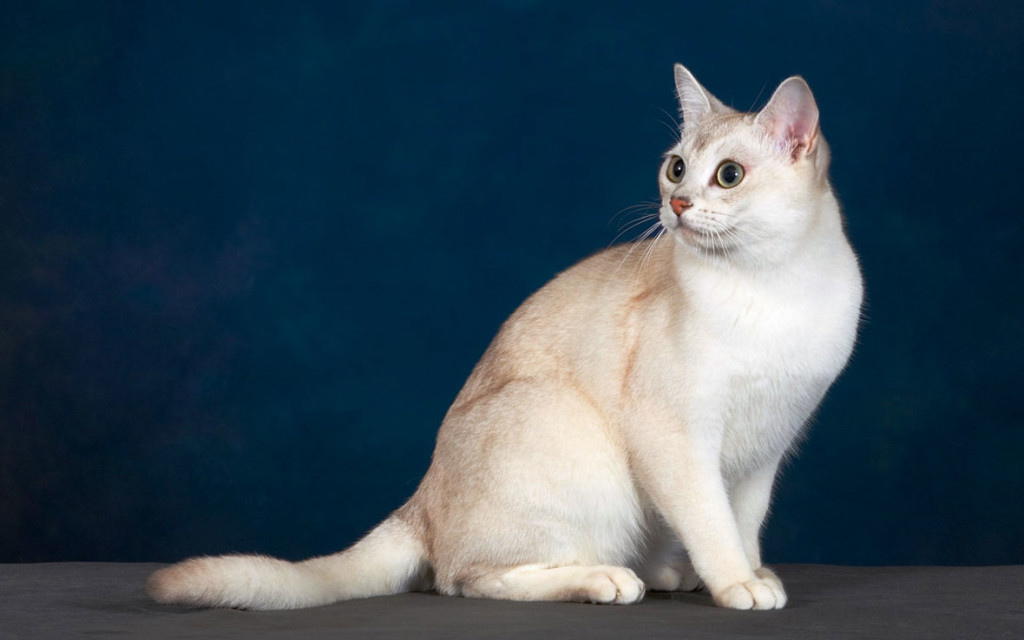 Кошки Бурмилла