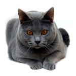 Кошки Шартрез