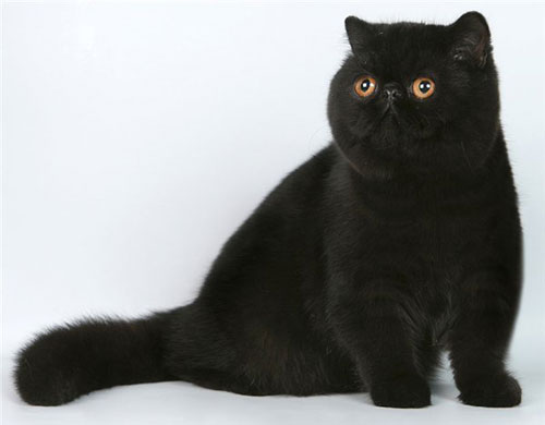 Exotic-shorthair-cat2