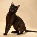 кошки Гавана