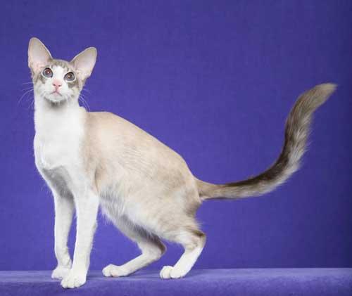 Javanese_Cat3