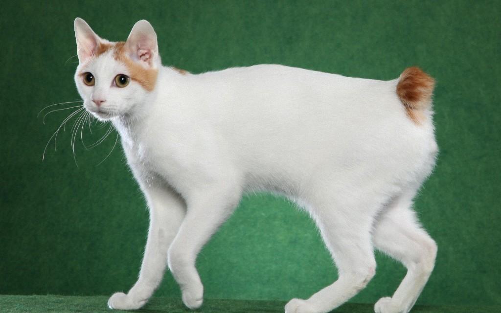 Кошки Мэнкс