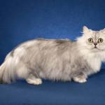 Наполеон кошки