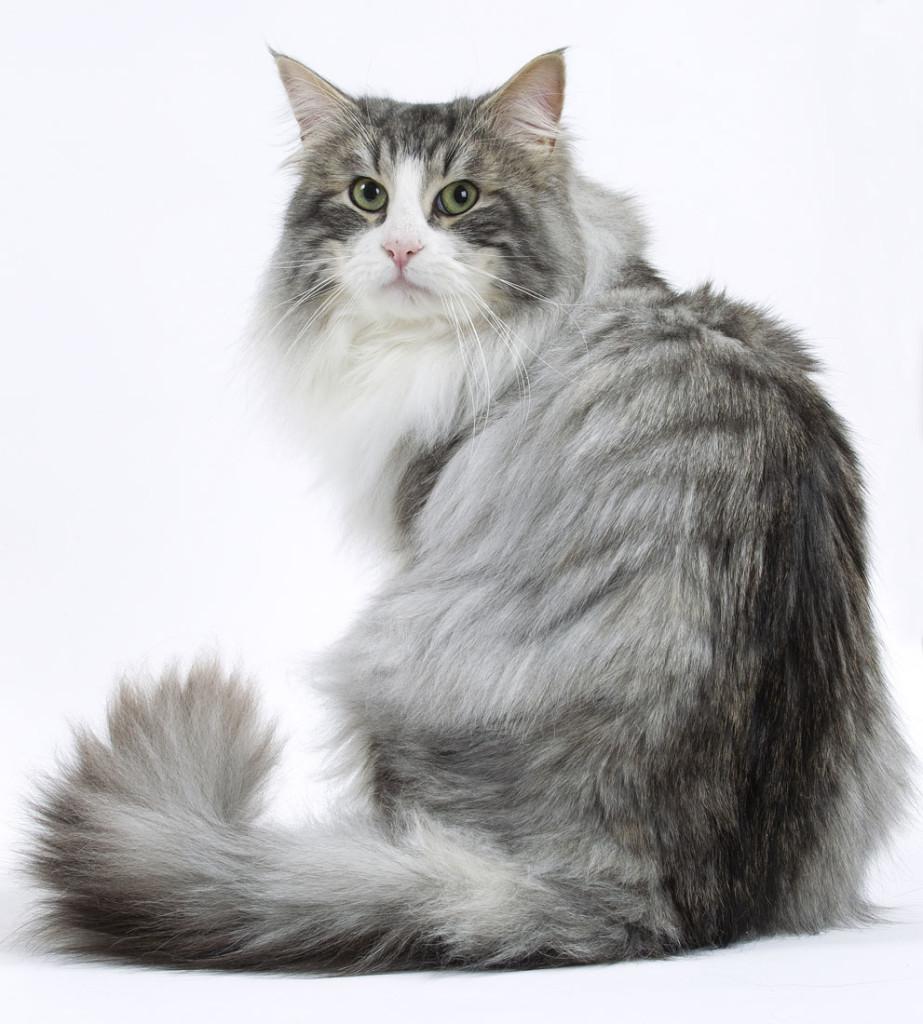 Кошка Норвежская лесная
