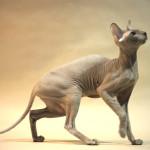 Кошка Петерболд