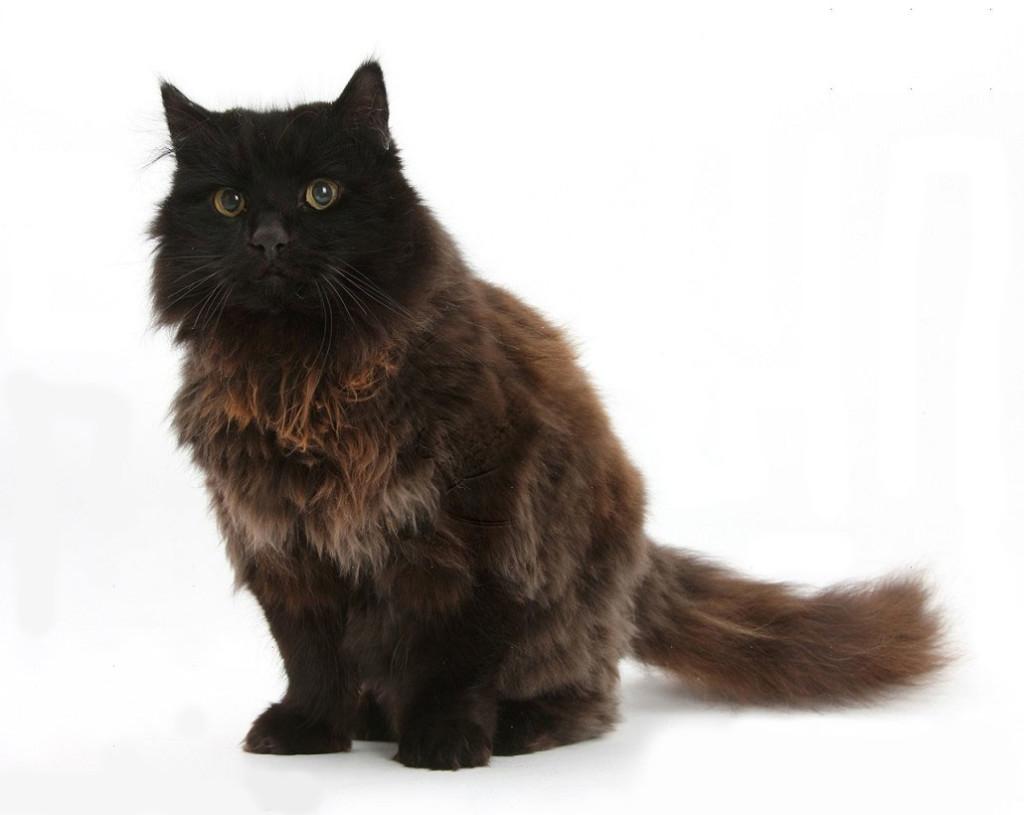 Йорк кошка
