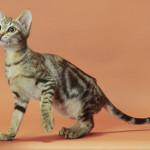 Кошка Соукок